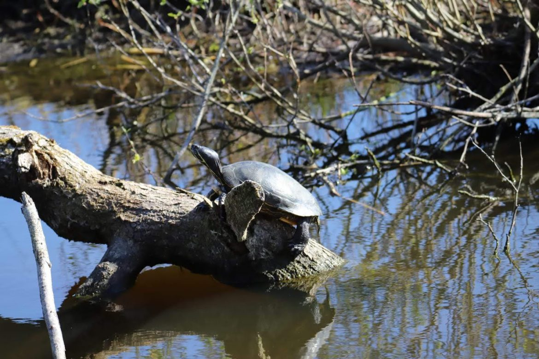 Waarom sterft een schildpad in de Nederlandse natuur?