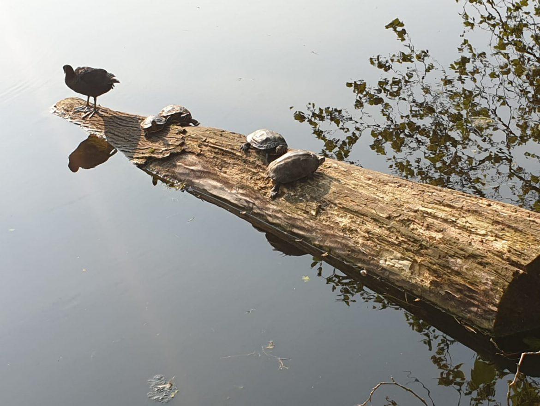 Tijdelijke opvang gevonden schildpad