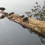 gedumpte-schildpadden-boomstam